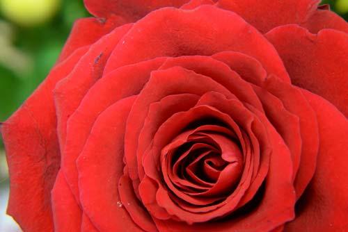 mindfulness,-nlp,-zintuiglijke-scherpzinnigheid-roos